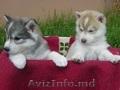 хорошо обучены мужские и женские голубые глаза Сибирский хаски щенки